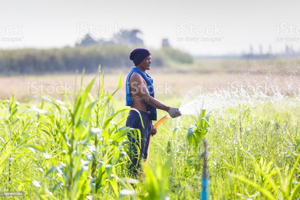 Farmers is watering in corn field in the countryside, Thailand stock photo