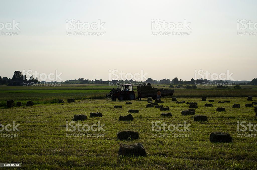 farmers load dried hay straw bales to tractor stock photo