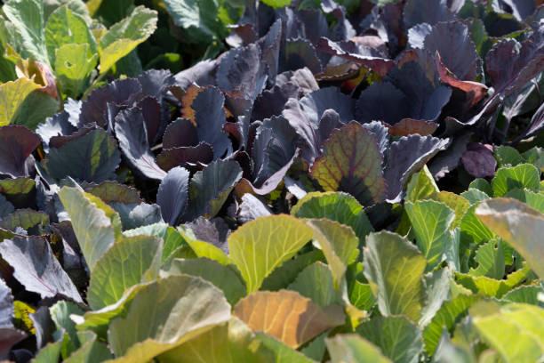 Farmer's Market Cabbage Detail stock photo