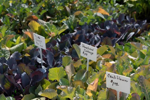 Farmer's Market Cabbage stock photo