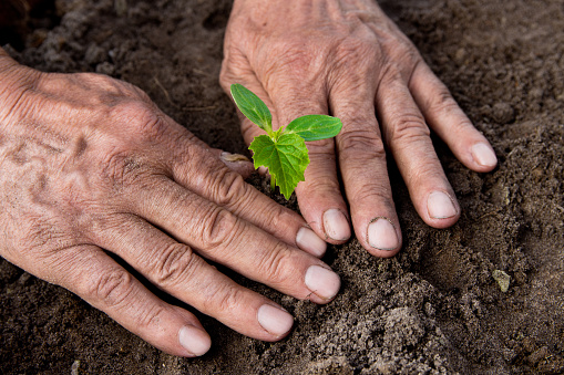 637583458 istock photo Farmers, retired planting in the ground Green sprout. The concept of farming and business growth. Selective focus 954207050