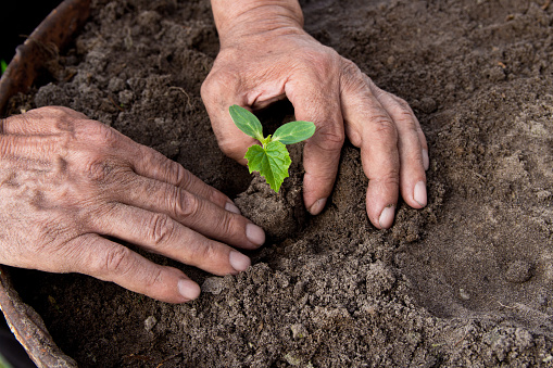 637583458 istock photo Farmers, retired planting in the ground Green sprout. The concept of farming and business growth. 954207404