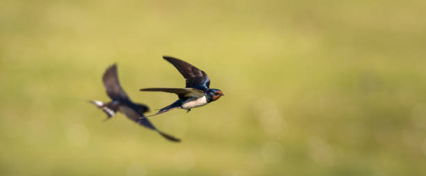 farmers swallow in flight - rondine foto e immagini stock