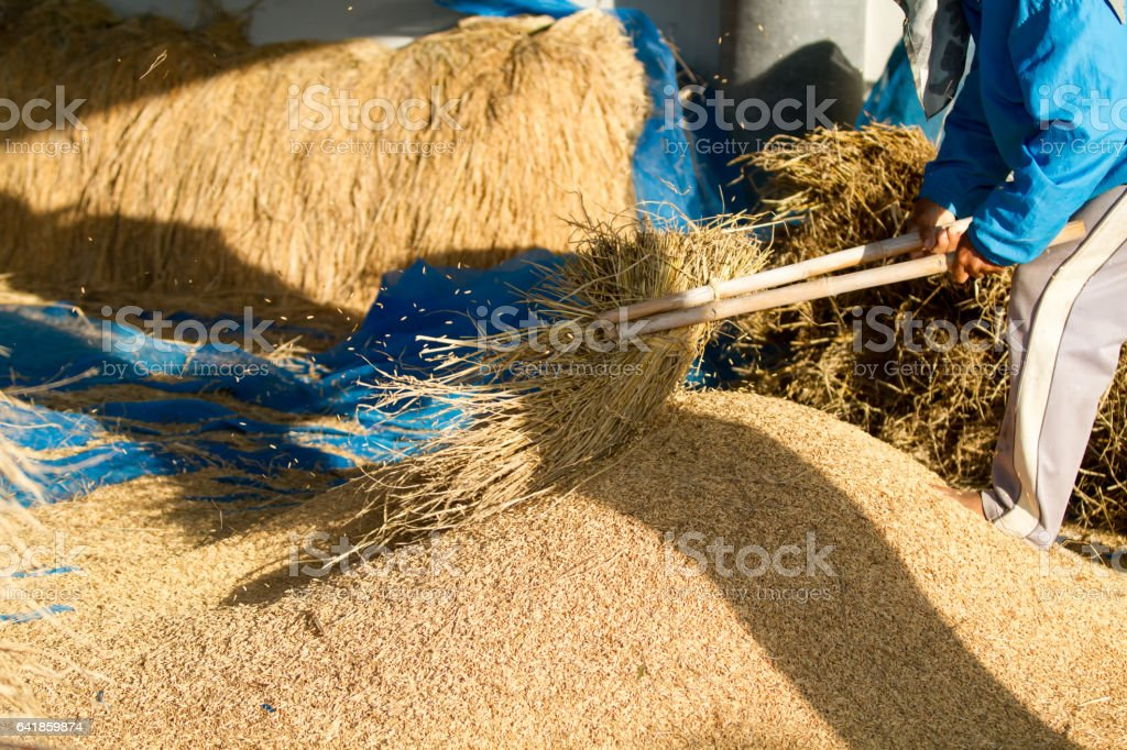 Farmers threshing Thailand. stock photo