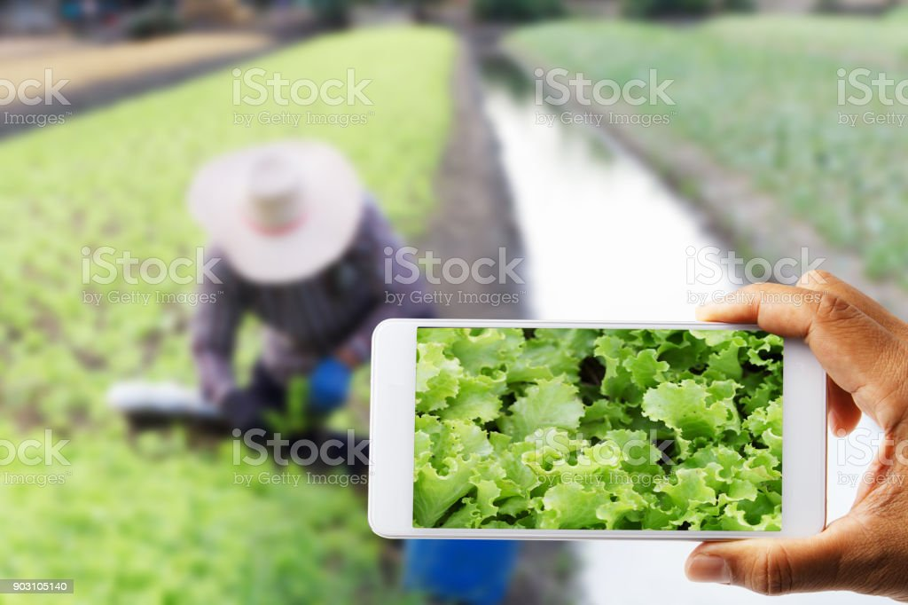 Landwirte nutzen eine Handy mit Weißkohl mit Bauer arbeiten unscharf fotografiert – Foto