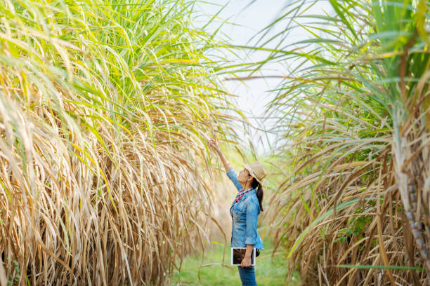 Farmers walk to inspect sugarcane trees on the farm. Farmers walk to inspect sugarcane trees on the farm. sugar cane stock pictures, royalty-free photos & images