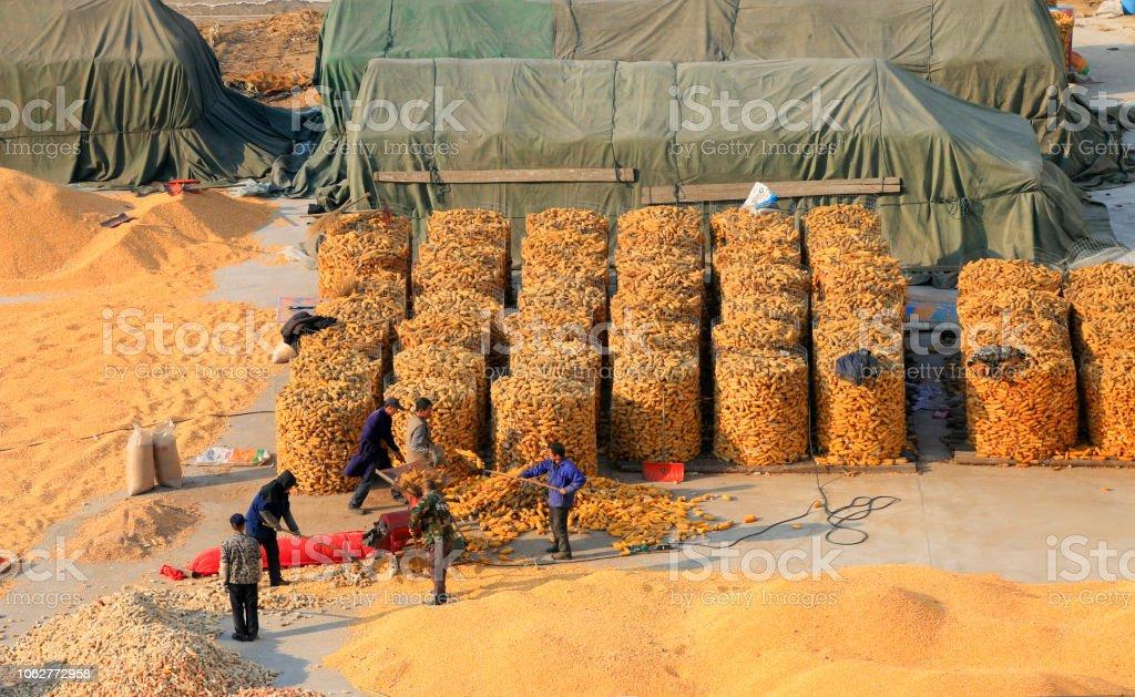 Tangshan City - March 2, 2016: farmers were drying corn in Tangshan City, Hebei, China 'n stock photo