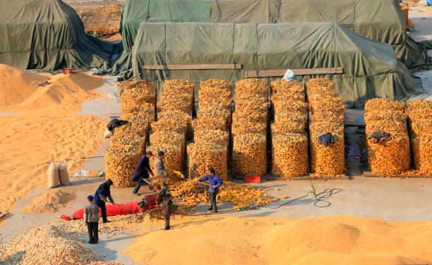Tangshan Stadt - 2. März 2016: Landwirte waren Mais in Tangshan Stadt, Hebei, China
