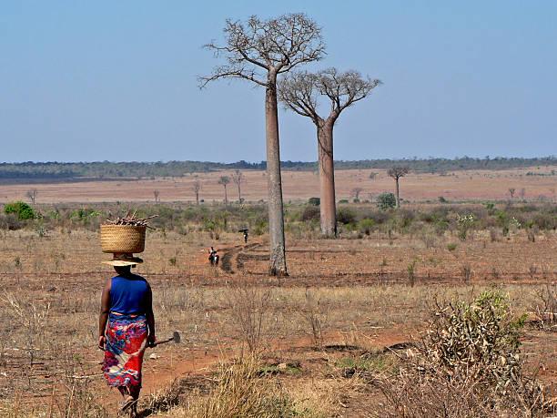 landwirte und affenbrotbäumen gesäumt in madagaskar - afrikanische steppe dürre stock-fotos und bilder