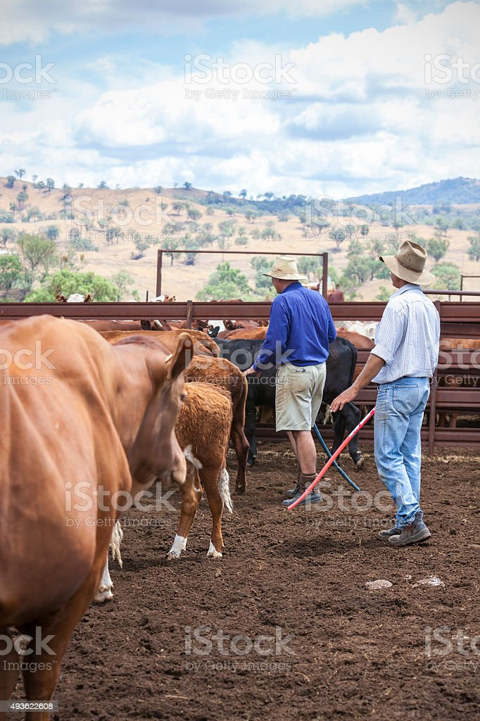 Farmers with cattle stock photo