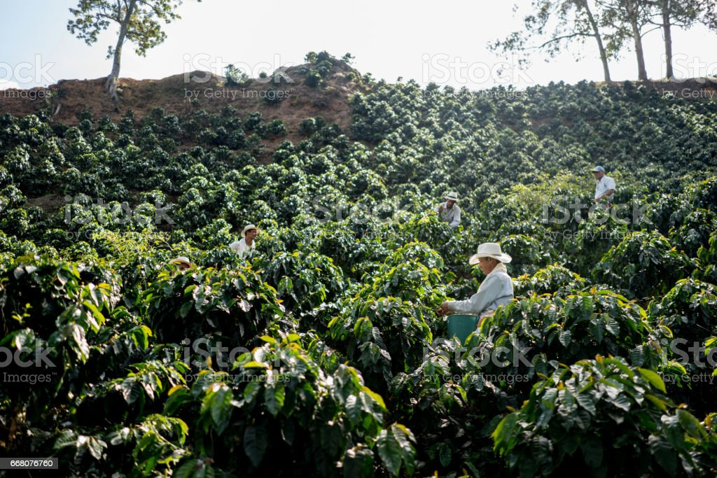 Farmers working at a coffee farm collecting coffee beans stock photo