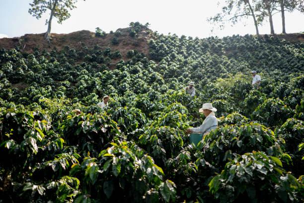 bauern arbeiten bei einer kaffee-farm kaffeebohnen sammeln - plantage stock-fotos und bilder