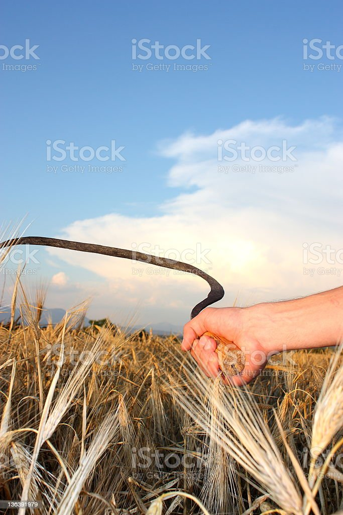 Farmers working in a field of wheat stock photo