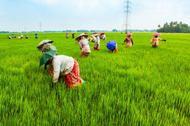 Farmers working in rice field stock photo