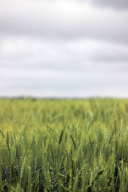 farmer'sfield with wheat crop - pam schodt stock photos and pictures