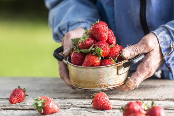 Die Hände der Farme halten einen alten Küchentopf voller frischer reifer Erdbeeren – Foto