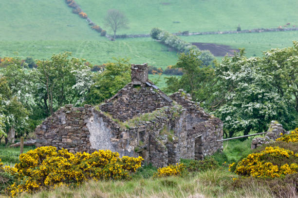 Farmhouse ruin, Slievenaglogh Townland II Built with care of fieldstones, windows now empty of glass, rotted roof and fallen, interior wall with chimney warmed rooms on two floors.  This substantial abandoned farm cottage among fields now sheep pasture on the slopes of Slievenaglogh Townland of the Cooley Peninsula, County Louth, Ireland.  Surrounded by white flowering hawthorn, yellow Whin bushes foreground. michael stephen wills Slievenaglogh stock pictures, royalty-free photos & images