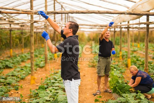 istock Farming, gardening, agriculture and people concept - Family business. Family Working Together In Greenhouse 825691754