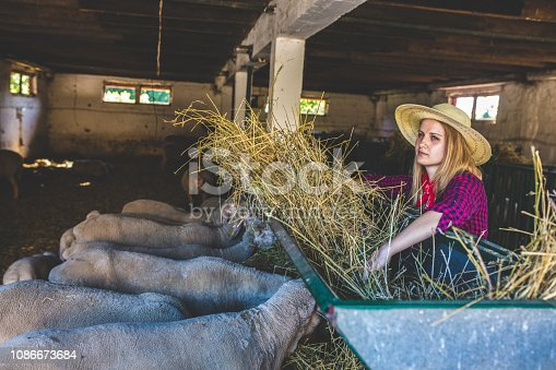 Daily job at sheep ranch