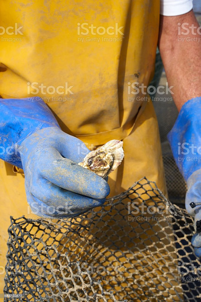 Farming oysters stock photo