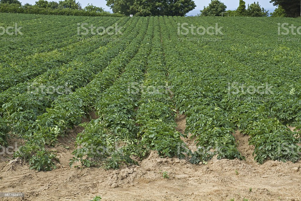 Farming the well known Jersey Royals potatoes stock photo
