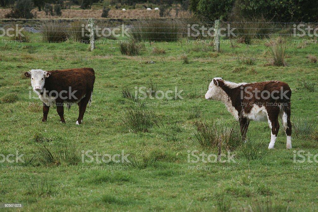Farmland cows royalty-free stock photo