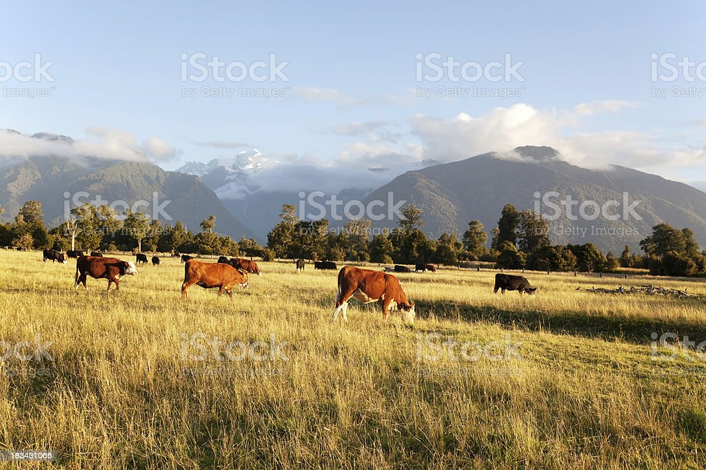 Farmland with Cattle in New Zealand stock photo