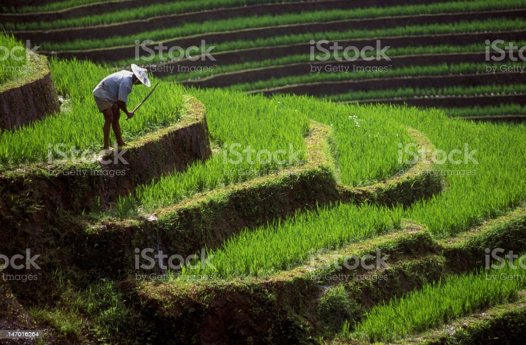 Farmworker in green rice terrace, Ubud, Bali, Indonesia​​​ foto