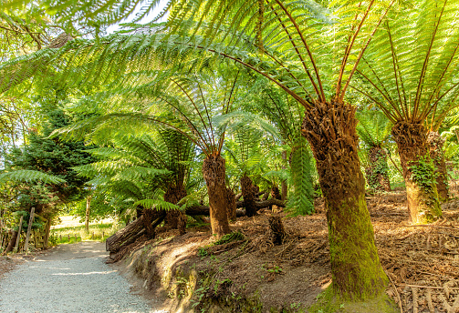 Farn trees in the jungle from Lost gardens of Heligan Cornwall
