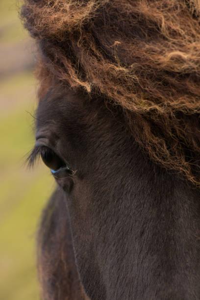 Faroese horses stock photo