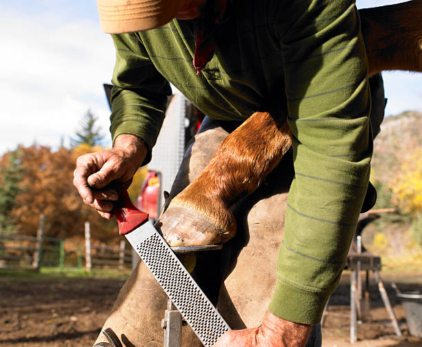 farrier filing horse hoof - hovslagare bildbanksfoton och bilder