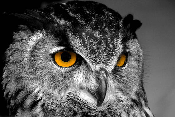 fascinating eyes - owl stock photos and pictures