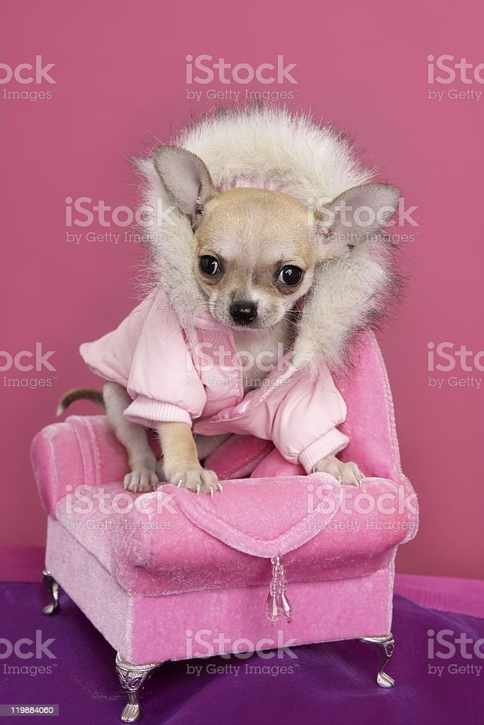 fashion chihuahua dog barbie style pink armchair stock photo