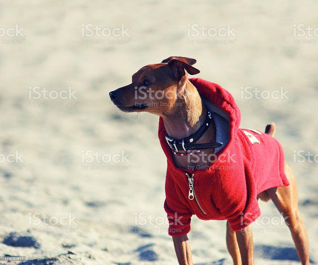 fashion chihuahua stock photo