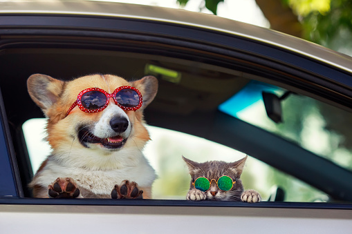 fashionable and funny dog and cat in sunglasses leaned out of the car window during a vacation trip