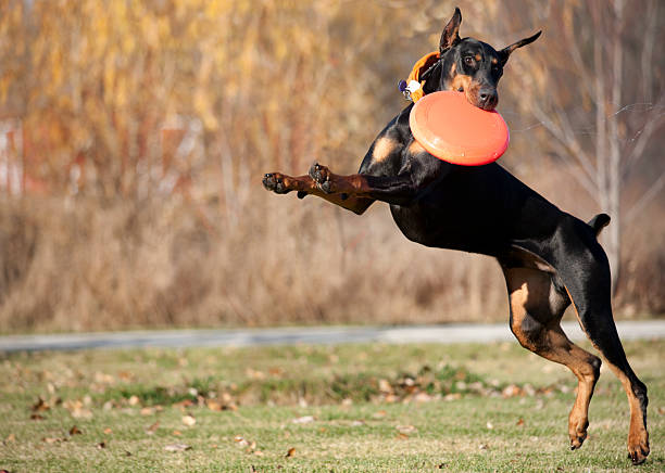Fast doberman pinscher dog running jumping and catching frisbee disk picture id157528367?b=1&k=6&m=157528367&s=612x612&w=0&h=dwkbgpfivjkoesx 8jkncvag1w45nhk4g k8bja7gyg=