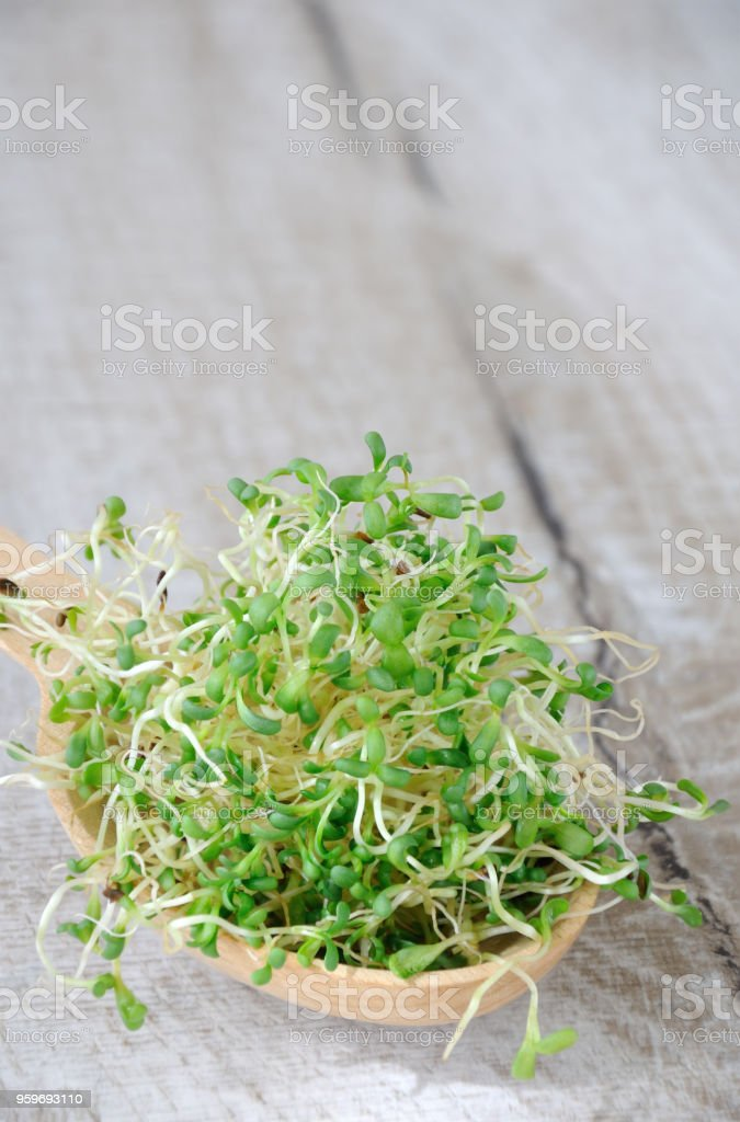 Fast growing micro greens for salads all year round. A handful of sprouted alfalfa sprouts in a wooden spoon stock photo