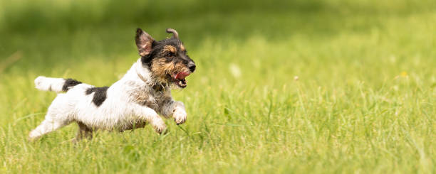 Fast Jack Russell Terrier Hund läuft seitlich über eine grüne Wiese im Frühjahr – Foto