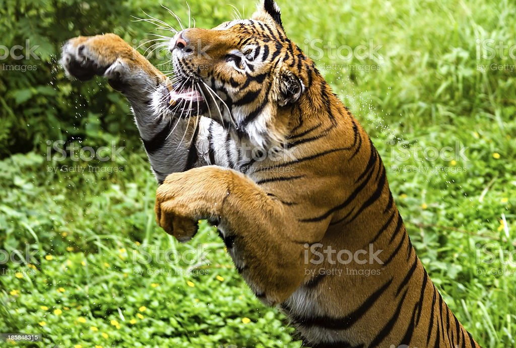 Fast motion of the jumping Bengal tiger stock photo