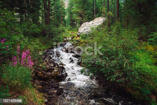 Fast water stream in wild mountain creek in terrain of Shavlinsky Lakes in Altai. Green forest landscape. Pink flowers, rich vegetation and big stone near brook.