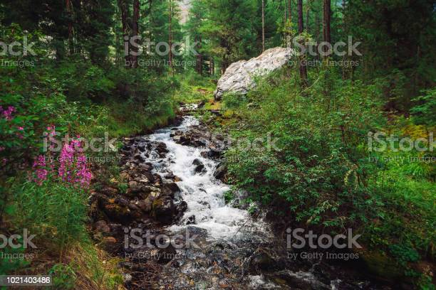 Photo of Fast water stream in wild mountain creek in terrain of Shavlinsky Lakes in Altai. Green forest landscape. Pink flowers, rich vegetation and big stone near brook.