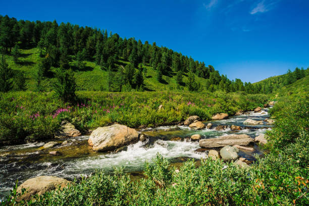 fast water stream of mountain creek among boulders in bright sunlight in valley. vivid grass, pink flowers, rich vegetation near brook in highlands. amazing green landscape of majestic altai nature. - altai nature reserve стоковые фото и изображения