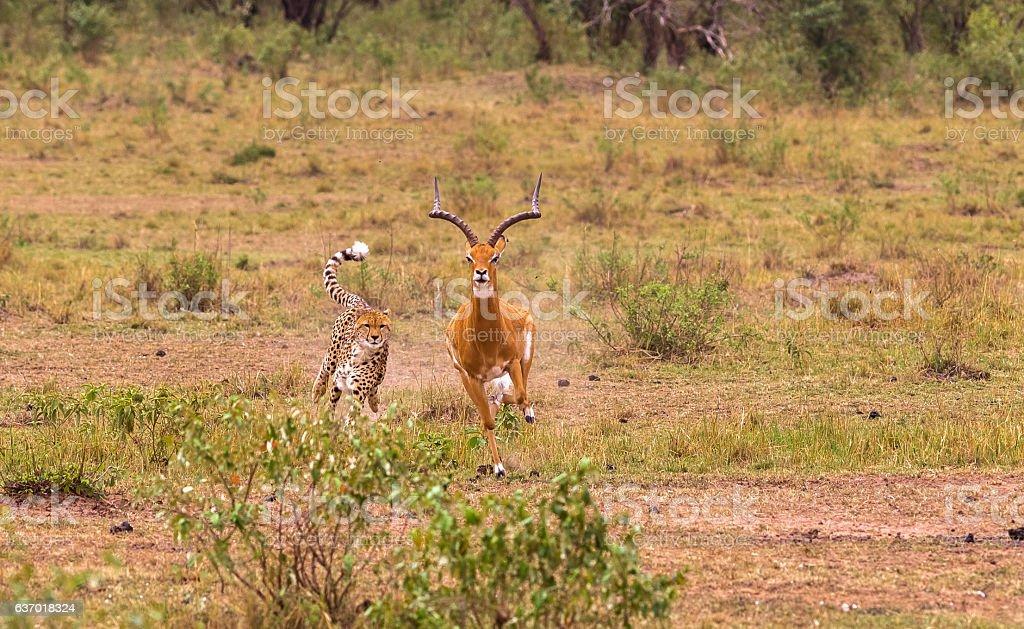 Fastest hunter of Savanna. Masai Mara, Kenya stock photo