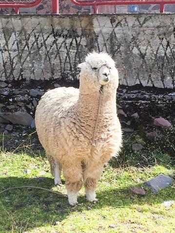 Fat alpaca in Puno, Peru