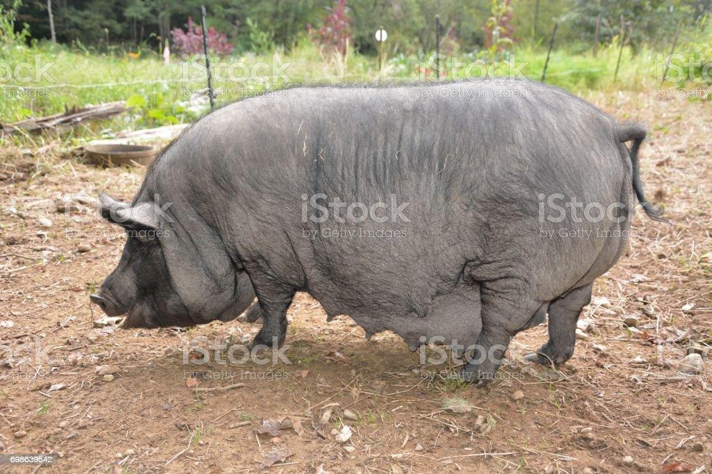 stora svarta feta tuppar lesbiska nakna