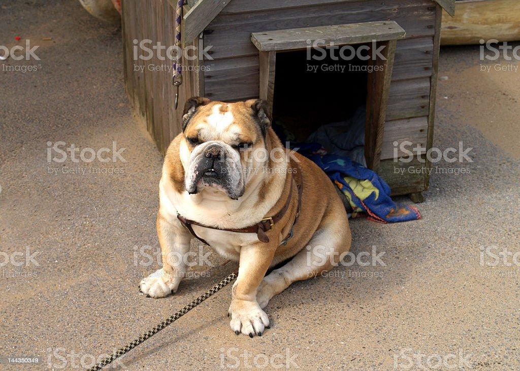 fat bulldog sitting outside its dog house stock photo more rh istockphoto com fat dog hot sauce fat raccoon video dog house