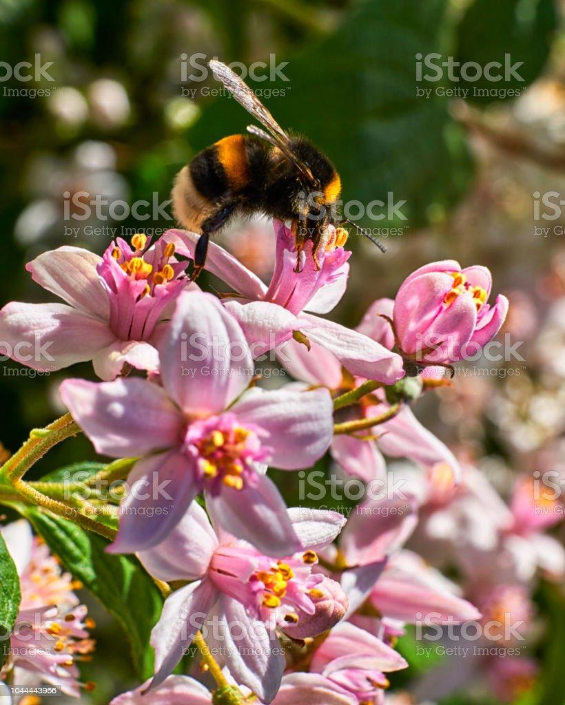 reputable site dc690 d2e44 Fette Hummel Sammeln Pollen Aus Tief In Die Weiße Blüte ...