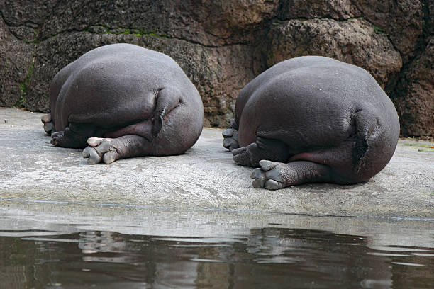 fat butt - hippo tail stock photos and pictures