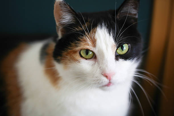 Fat calico cat picture id520536279?b=1&k=6&m=520536279&s=612x612&w=0&h=otcz0xiy3c0tmvt164ku4xk zzarliwg2aqzwmk7w3q=