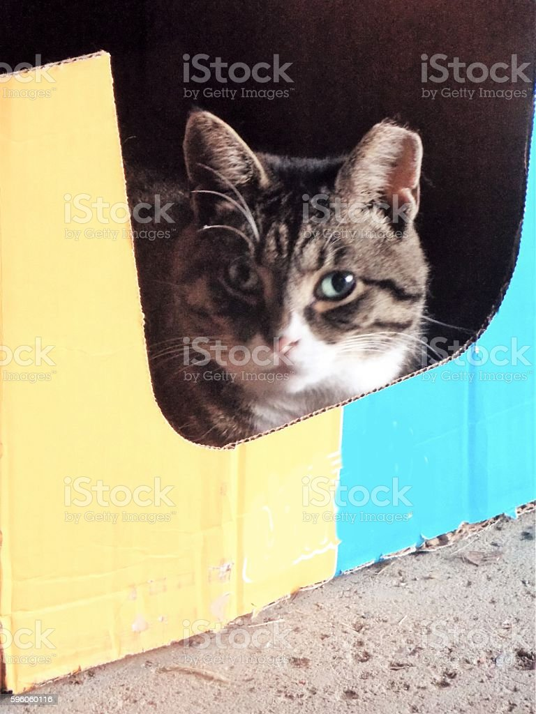 Fat Cat in her Yellow and Blue Cardboard Box royalty-free stock photo